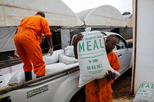 Employees carry sacks of animal feed based on black soldier flies larvae in the InsectiPro farm in Red Hill, Kiambu County