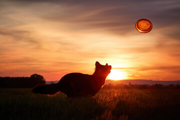 Silhouette of Bohemian shepherd, purebred dog, catching orange disk against colorful red evening sky. Black and brown, hairy shepherd dog in action. Active family dog in training games.