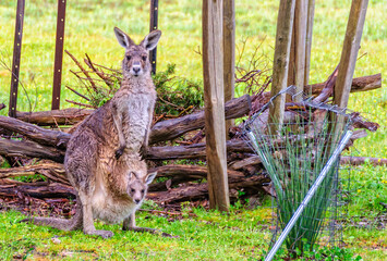 Wet kangaroo with her joey near Halls gap - Grampians, Victoria, Australia