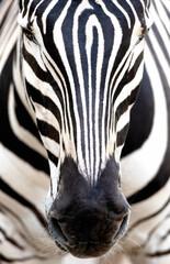 Wall Mural - Zebra