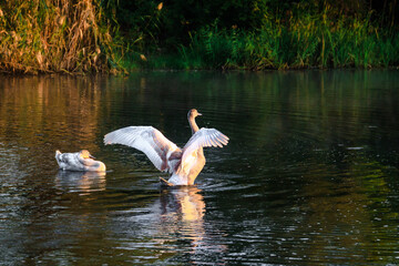 White wild swans in the autumn park on a pond or lake