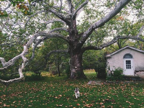 Dog Running, Large Sycamore Tree