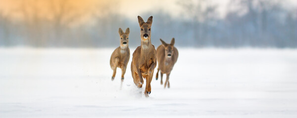 Group of roe deer, capreolus capreolus, running forward through deep snow in winter. Wide panoramic composition of wild mammals sprinting in nature with copy space.