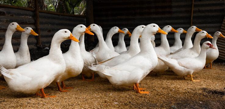ducks stand looking in farm. White duck ( Pekin )