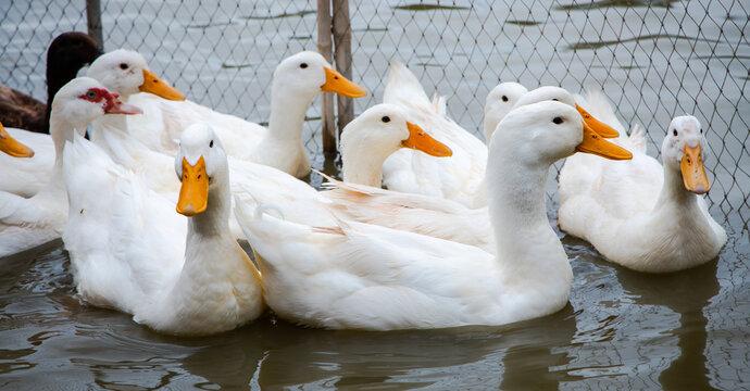 ducks swimming on water. White duck ( Pekin )