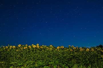 field of yellow sunflowers Helianthus at night under the sky with stars