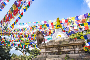 Rhesus macaque at Swayambhunath Buddhist Temple Center, Kathmandu
