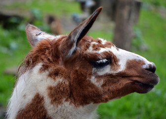 The llama (Lama glama) is a South American camelid, widely used as a meat and pack animal by Andean cultures since pre-