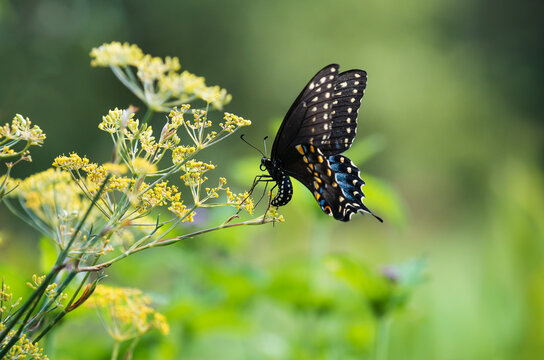 Black Swallowtail butterfly (Papilio polyxenes) laying eggs on flowering dill plant in the garden
