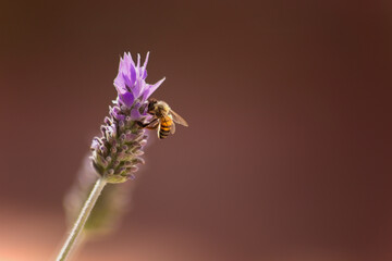 bee perched on a lavender flower