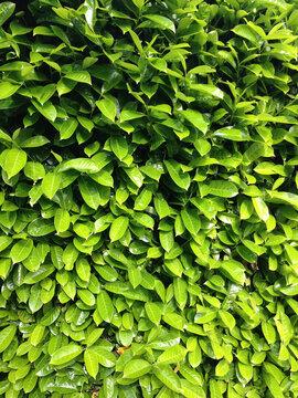 Green leaves of laurel bush