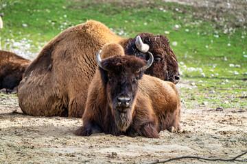 Amerikaanse buffel bekend als bizon, Bos bizon in de dierentuin