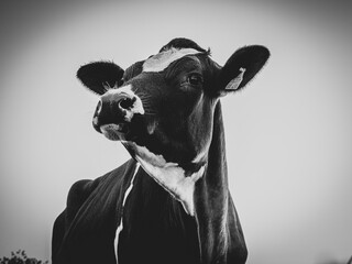 portrait of a black cow with white spots