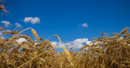 Fototapete - Blue sky with clouds and yellow field wheat, beautiful dynamic landscape on Sunny day. Scenic agricultural land. Beauty nature, agriculture and seasonal harvest time.