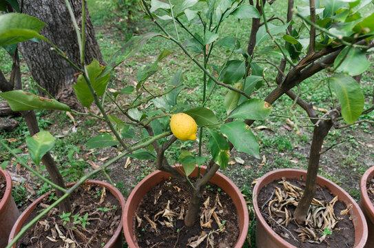 Potted lemon plant