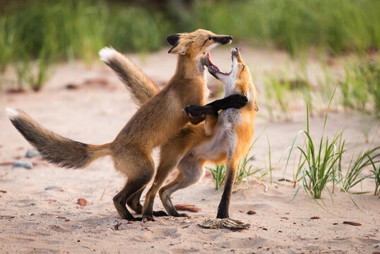 Pair of young wild foxes fighting and playing in natural environment