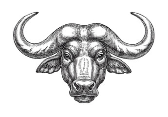 Wild buffalo head, black and white hand drawn  illustration.