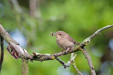 House Wren Eating a Spider