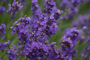 Gros plan sur des fleurs de lavande