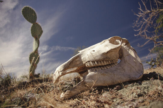 Skull of dead horse in the desert with cactus in the background in Mexico