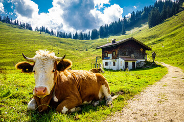 Wall Mural - cow at the european alps