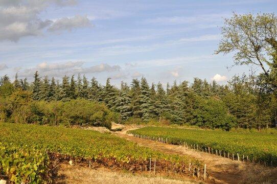 Vignes et sapins dans la côte Chalonnaise.