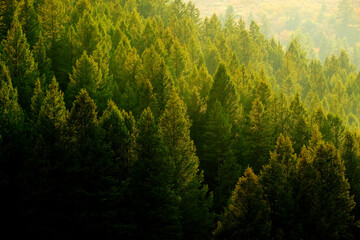 Pine Trees Forest Evening Light