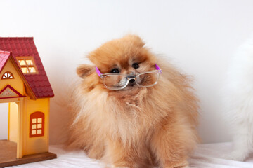 Small dog Pomeranian orange color scared, very surprised, sitting on a white background with...