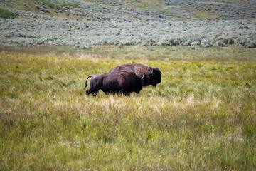 Two buffalo grazing