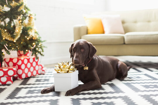 Chocolate Labrador lying on carpet next to Christmas tree