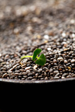 Close-up of china seeds and sprout
