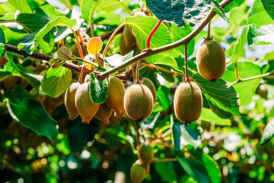 Kiwifruits growing on plant
