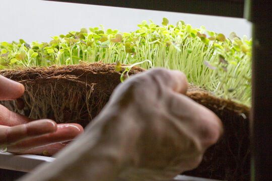 Closeup of man's hands harvesting micro green herbs from a hydroponics system