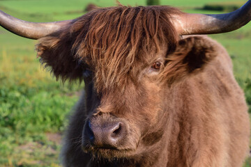 Close up of the head of a highland cattle, which is brown, shaggy and hairy, from the front
