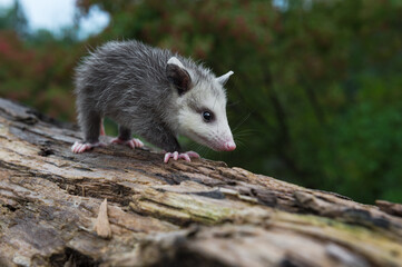 Wall Mural - Virginia Opossum Joey (Didelphis virginiana) Walks Alone Down Log Summer