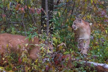Wall Mural - Cougars (Puma concolor) Prowl in Snow Dusted Leaves Autumn