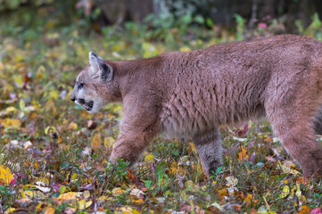 Wall Mural - Cougar (Puma concolor) Prowls Left Along Ground Autumn