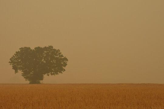 Big tree in wildfire smoke in Albany, Oregon, USA.