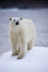 Printed kitchen splashbacks Polar bear Polar Bear on Iceberg, Svalbard, Norway