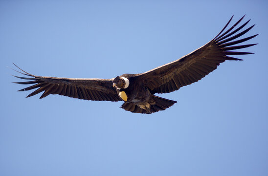 Andean Condor flying over the Andes Mountain Range.