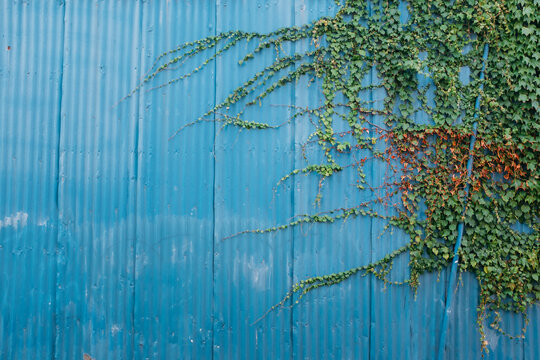 Vine on painted blue wall