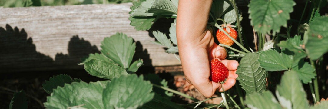 ripe strawberry in a child's hand on organic strawberry farm, people picking strawberries in summer season, harvest berries. banner