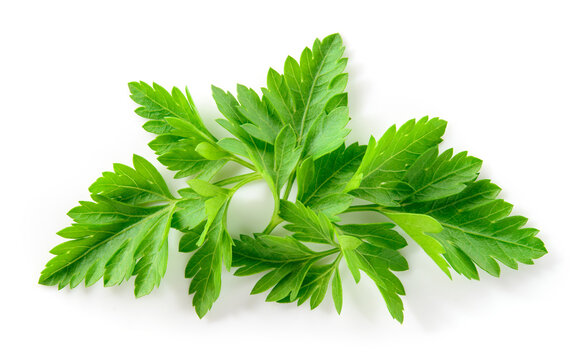 Parsley isolated. Parsley leaf on white. Parsley leaves top view. Full depth of field.