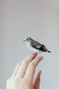Detail of this cute Serin