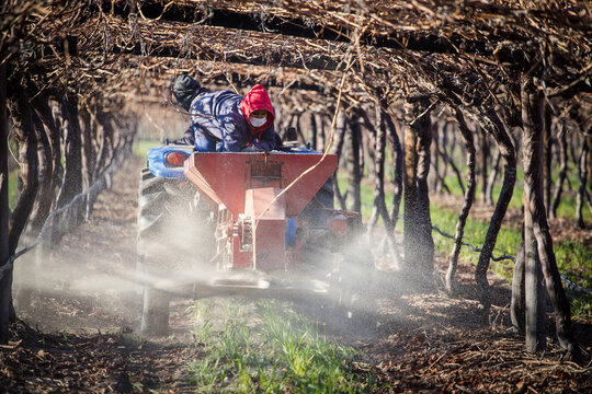 Close up image of farmworkers putting down fertilizer in a block of table grapes in south africa