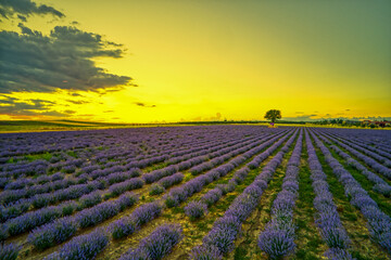 Blooming lavender create a stunningly beautiful landscape