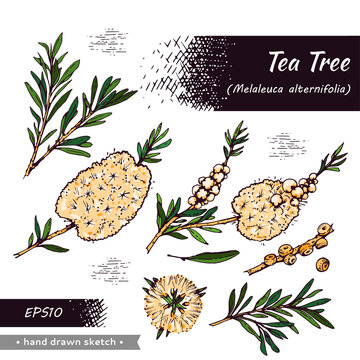 Collection of branches with leaves and flowers of tea tree . Detailed hand-drawn sketches, vector botanical illustration.