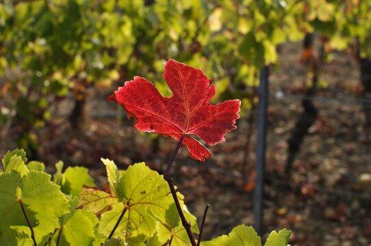 Feuille de vigne rouge d'automne.