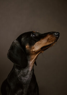 Studio portrait of a adorable black dachshund