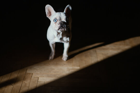 One eyed French Bulldog posing in a shadow. Blue eyed Bulldog making a scene of Marlon Brando from Apocalypse Now.